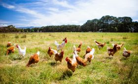 Dedeman Hotels & Resorts International Has Switched To 100% Cage-Free Eggs In Its Hotels in Turkey